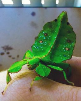 Stick and leaf insects